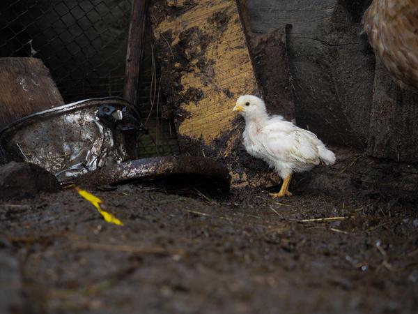 У цыплят аммиак раздражает кожу, может привести к слепоте, снизит иммунитет.