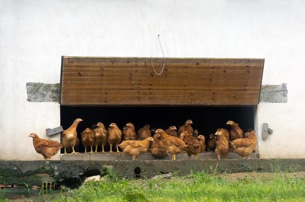 Цыплята должны дышать свежим чистым воздухом