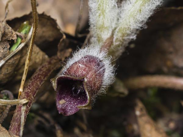 Цветок копытня
