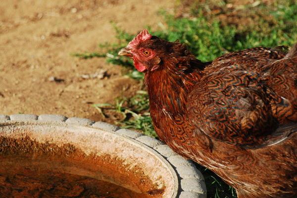 Вода для цыплят должна быть чистой