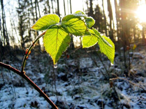 Большинство сортов малины успешно переносит морозы до -30 °С