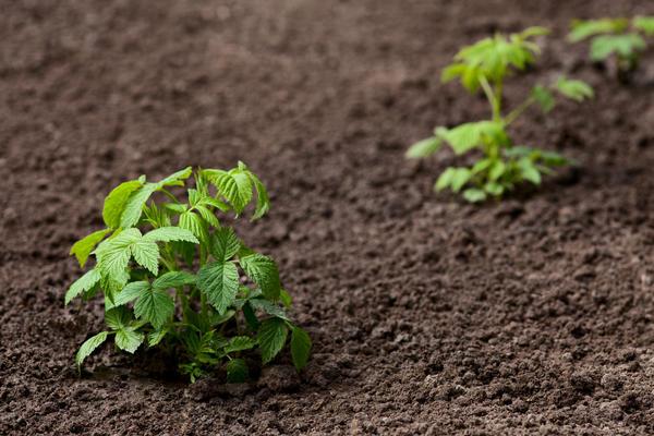 Выкопанные зелёные отпрыски высаживают на грядку для доращивания, а осенью используют как посадочный материал.