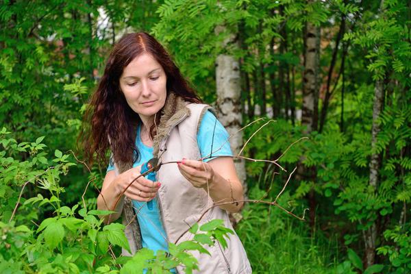 Весной обычно обрезают очень высокие стебли до высоты 1,6-1,8 м