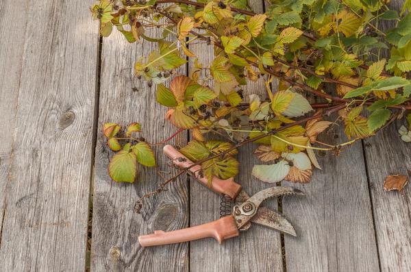 Осенние сорта малины зимуют без стеблей, которые срезают после уборки урожая