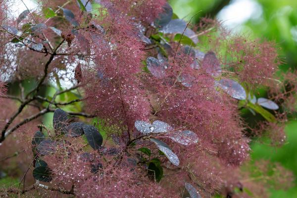 Скумпию кожевенную можно формировать как дерево или куст