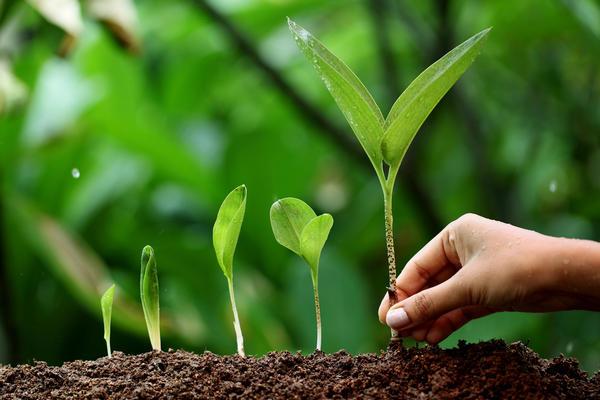 Черемша - это многолетнее травянистое растение рода Лук