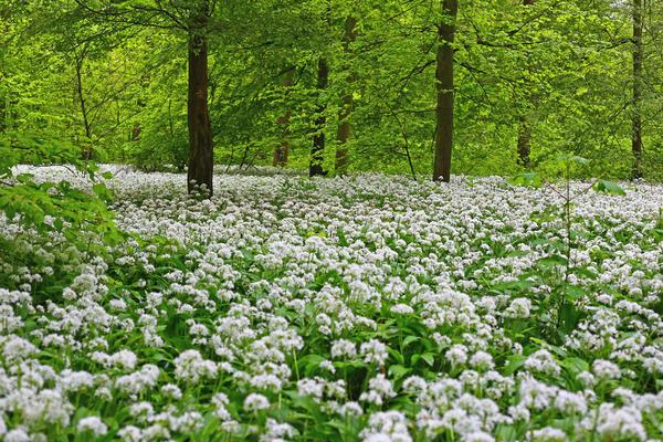 В широколиственных и смешанных лесах черемша разрастается целыми полянами