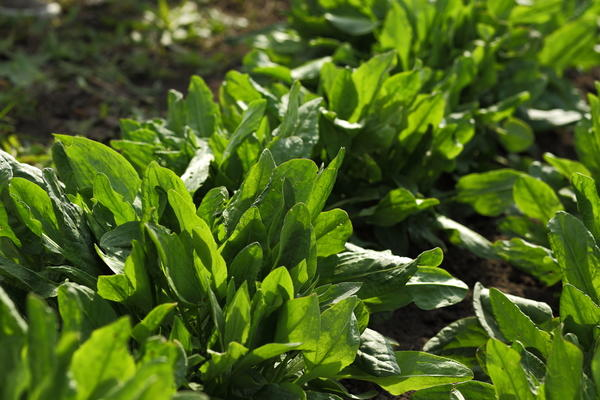 Щавель обыкновенный растёт в наших огородах