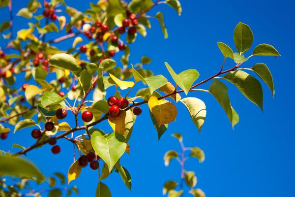 Яблоня ягодная (Malus baccata)