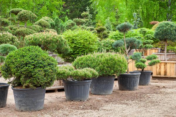 Старайтесь не покупать растения с оголённой корневой системой, особенно хвойные. Лучше выбрать деревья в контейнерах