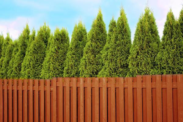 Обычно хвойную живую изгородь формируют из деревьев какой-то одной породы