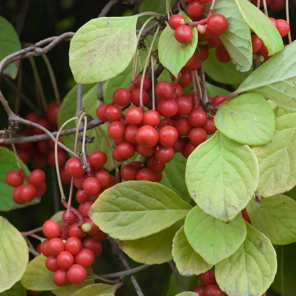 Созревшие ягоды лимонника на ветке