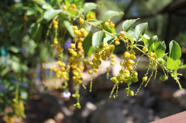 Цветение лимонника