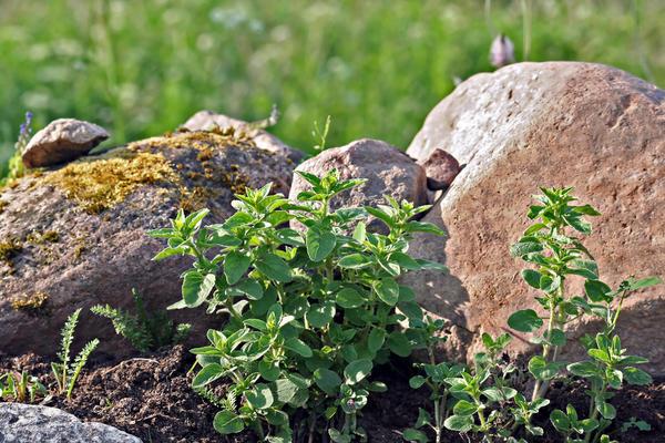 Орегано в каменистом саду