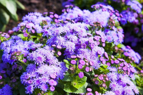 Яркий цветущий агератум