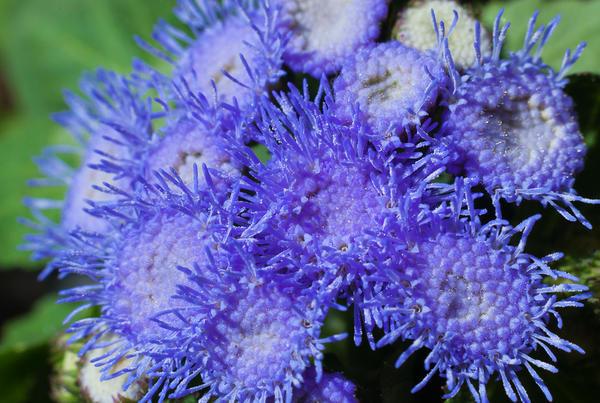 Синий цветок агератума