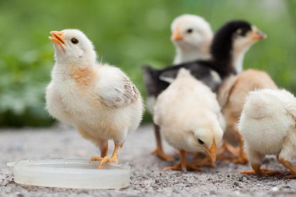 Проблемной птице достаточно десяти дней, чтобы болезнь проявилась