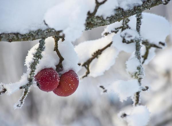 Другая беда яблонь - сильные морозы