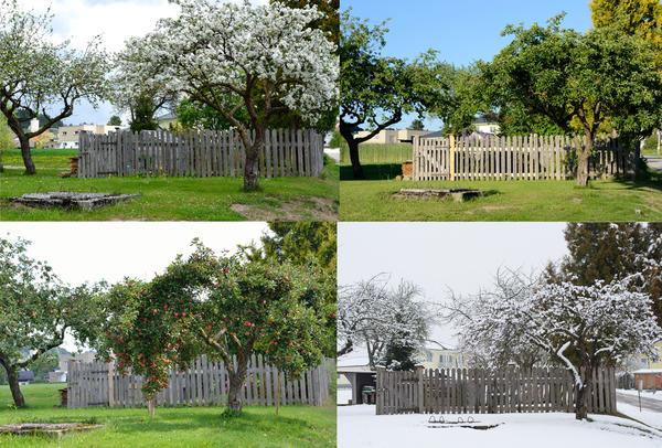 Правильно сформированная и ухоженная старая яблоня становится подлинным украшением сада