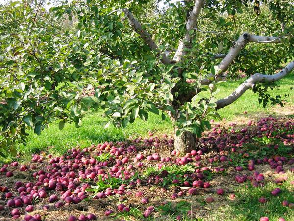 Старая подлеченная яблоня даёт десятки и даже сотни килограммов отменных плодов