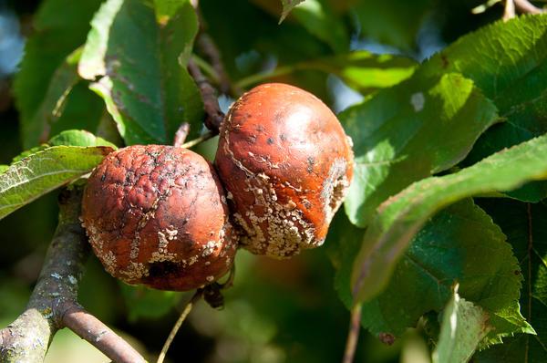 Плодовая гниль на яблоне