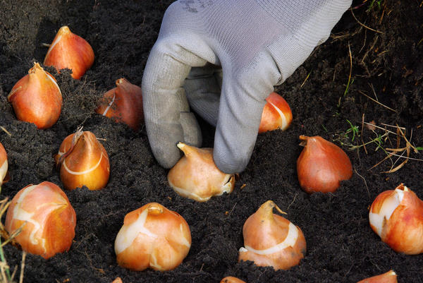 Перед посадкой луковичных хорошо провести обработку беномилом
