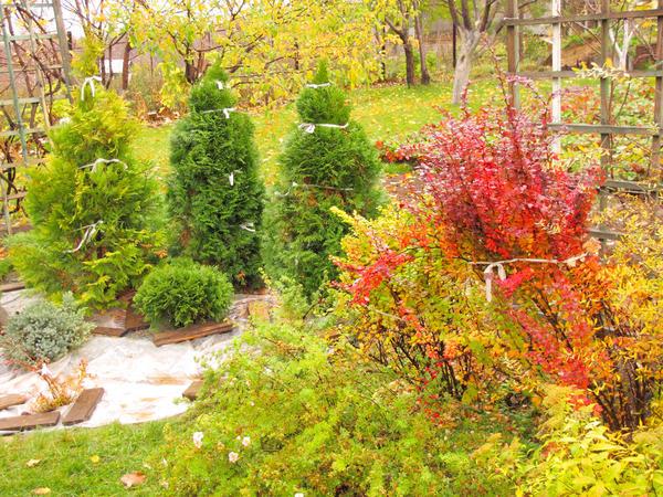 Вечнозелёным растениям обвязывают ветви