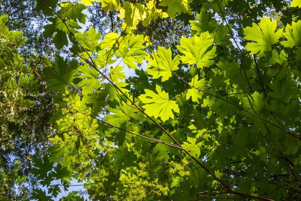 Зеленая листва клена