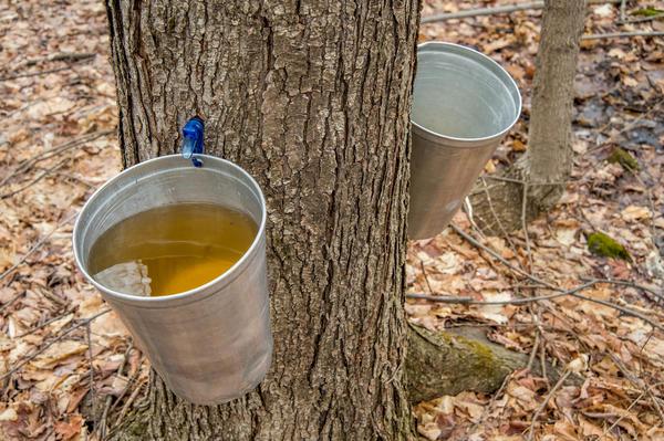 Сбор кленового сока в Канаде