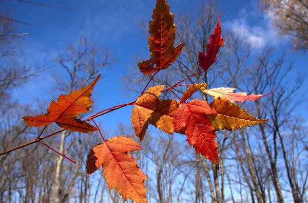 Осенние листья клёна Гиннала