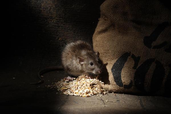 Крыса - животное потрясающе умное, хитрое, осторожное