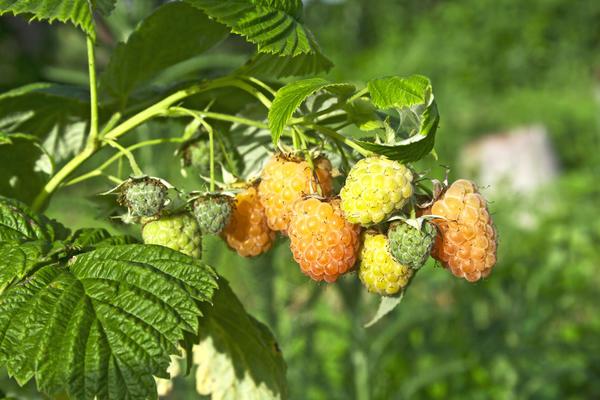 Плоды малины золотисто-абрикосовой окраски