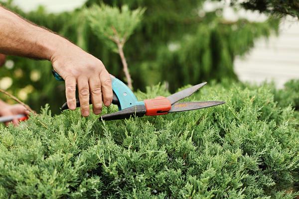 Если вы формируете из можжевельника живую изгородь, торчащие побеги следует подрезать.