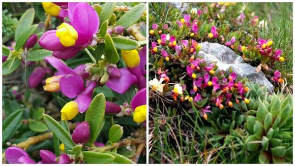 Истод самшитовидный крупным планом, фото сайтаTopsy.fr и он же внешний вид, фото сайта www.naturamediterraneo.com