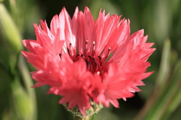 Розовый василек