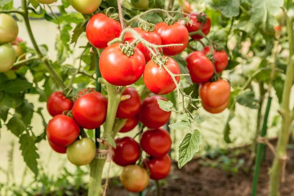 Супер-томаты от Партнера