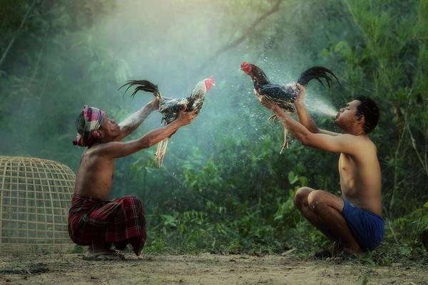 В Индонезии и Филиппинах петушиные бои популярны