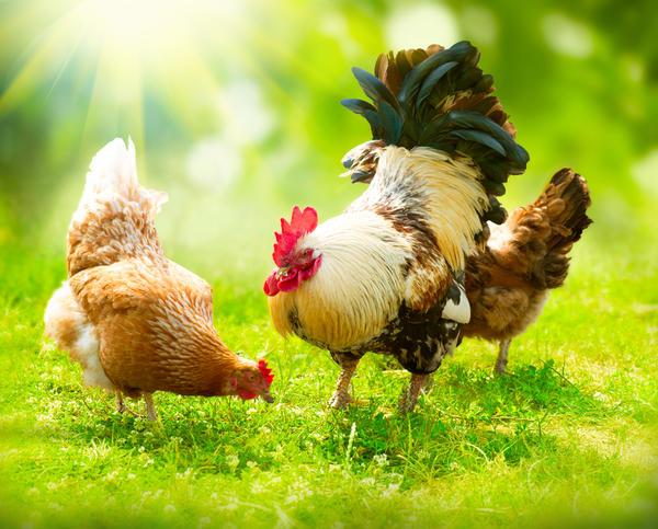 Петухи и куры - самые распространенные птицы на нашей планете