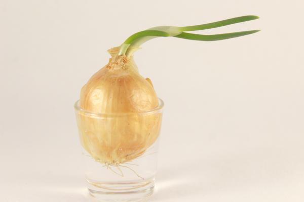 Залог успеха - правильная луковица