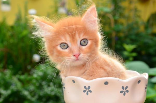 Котовник