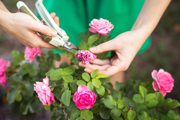 Летняя обрезка в основном сводится к удалению отцветших цветков