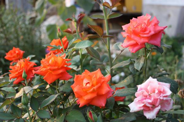 У флорибунд и чайно-гибридных роз цветки образуются как на старых, так и на новых побегах