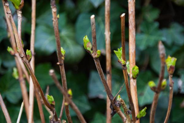 Гортензию древовидную и г. метельчатую обрезают весной