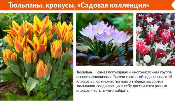 Тюльпаны, крокусы