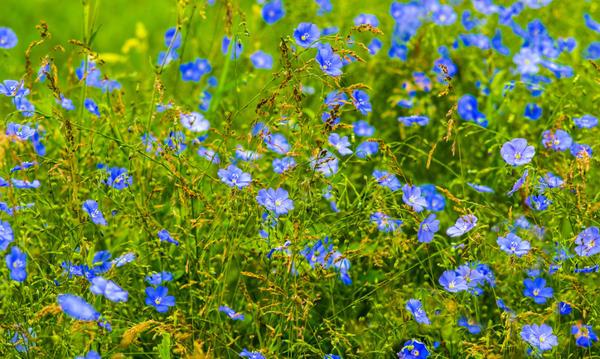 Лен - ценное лекарственное растение