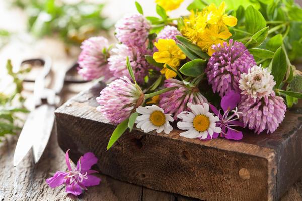 У клевера заготавливают только цветки