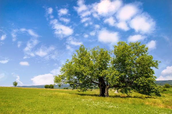Шелковичное дерево