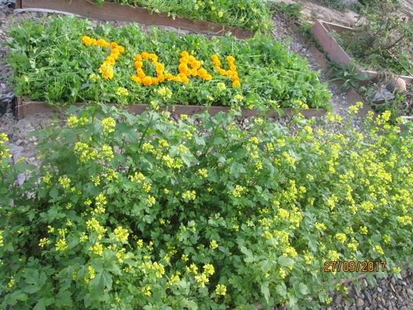 Желтые цветочки горчицы радуют глаз осенним деньками!