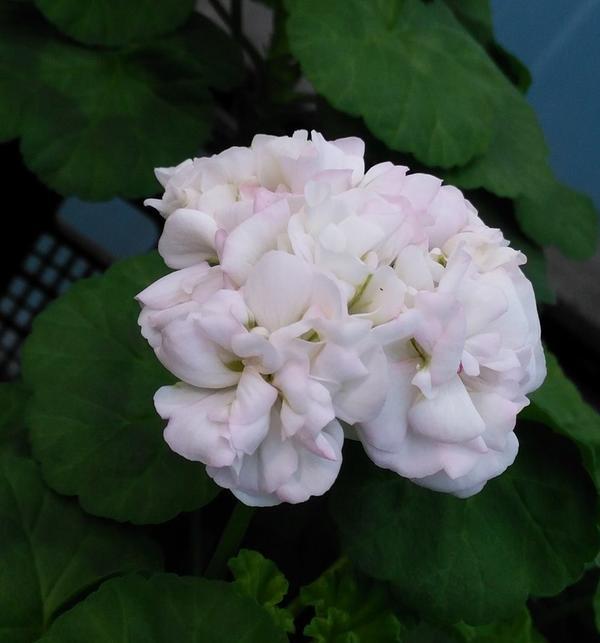 Пеларгония розебудная (сейчас цветет)