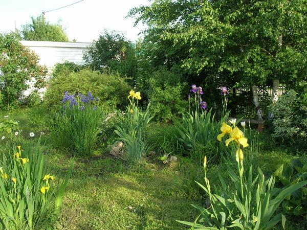 Ирисы бородатые ( по форме цветка что попроще) и слева болотный желтый ирис.